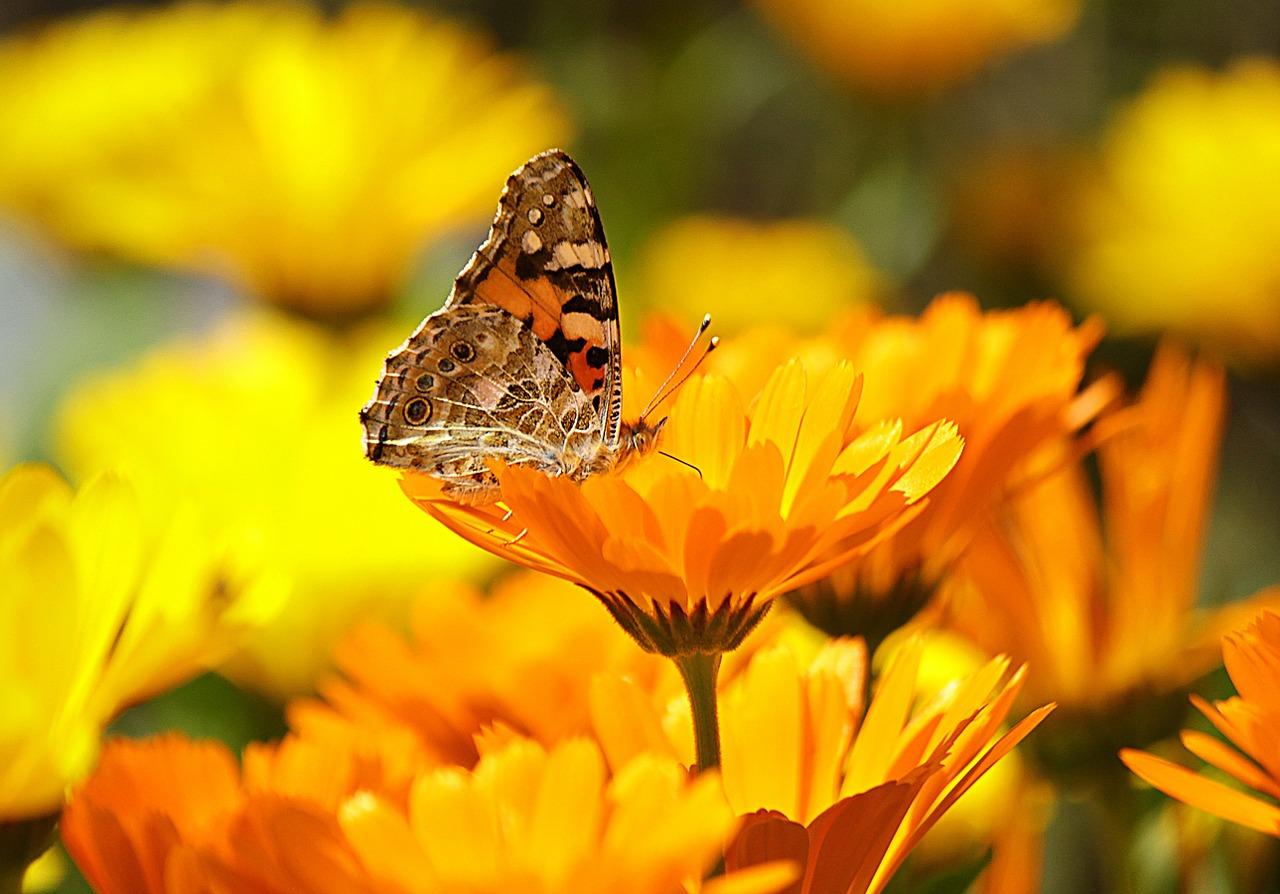 papillon sur fleurs.